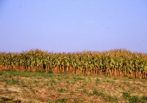 Pipriac (35). Site de la Bentinais. Vue du sol de la croissance différentielle des maïs. Cliché M. Gautier